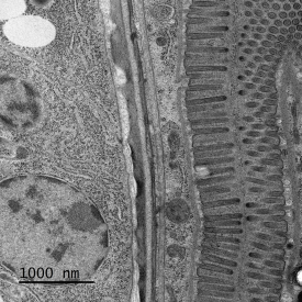 High-resolution image of C. elegans stomach sample