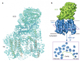 First 3D structure of human γ-secretase determined by cryo-EM at 4.5 Å resolution